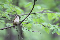 Carolina Wren Singing (fredhosley) Tags: nature birds forest canon state wildlife massachusetts carolina wren upton