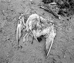 Bird (Franco Rabazzo) Tags: bw bird 120 film beach animal strand analog iso400 decay balticsea polen mf 6x7 tmax100 negscan plaubel selfdeveloped kodaktmax100 makina670 sobot