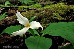 La fleur de mai... / Trillium in may (Pentax_clic) Tags: wood flower fleur canon trillium quebec may mai arbre bois mousse g12 trille ilecadieux robertwarren