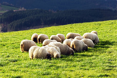 flock of typically basque latxa sheep (Mikel Martnez de Osaba) Tags: green wool nature field grass animal rural landscape countryside sheep feeding eating many farm farming crowd flock group meadow farmland pasture land livestock herd basque grazing basquecountry ewe latxa