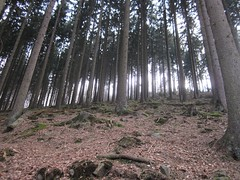Pines (Jeff Coons) Tags: travel forest canon germany deutschland is europe hiking hike powershot hills marburg wandern lahn wander sd940