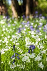 Bluebells & Greater Stitchwort (Stellaria holostea) (John_Boy88) Tags: park flowers plants flower macro flora staffordshire naturepark macrolens staffordshiremoorlands consall churnetvalley consallforge staffordshirecountycouncil consallnaturepark consallnatureparkstaffordshire
