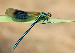 Male Banded demoiselle (Roger H3) Tags: insect lincolnshire demoiselle damselfly banded odonata bassingham