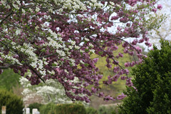 IMG_3034 (ToadMama) Tags: trees spring day sunny flowering dogwood