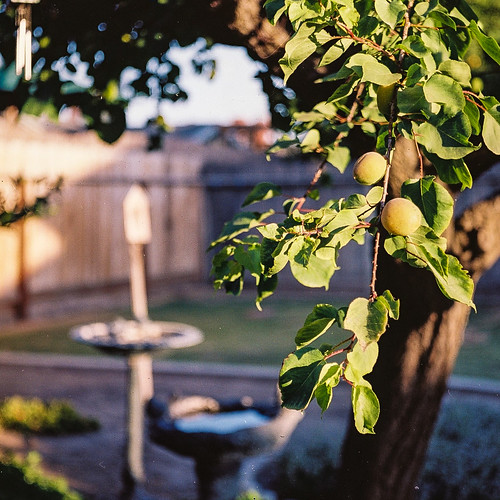 Backyard Apricot Tree