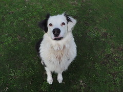 Shepo (Rayya The Vet) Tags: dog pet vet canine australianshepherd geriatric dogwalk