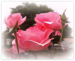 I dream in pink (MissyPenny) Tags: pink roses garden pennsylvania bristolpennsylvania pdlaich missypenny