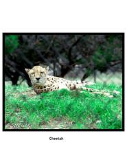 Cheetah- Meditating before the hunt (GNClicks) Tags: food nature animal nikon zoom wildlife parks reserve meditating handheld cheetah hunt wildcats 18200mm wildlifephotography