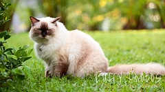 130608_Anise_040 (furry-photos) Tags: portrait dog pet cat action outdoor ragdoll
