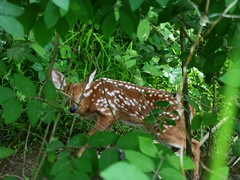 SCARED BUDDY (MNGS717) Tags: pennsylvania deer pa fawn 2013