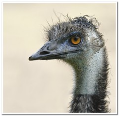 Emu (Hugh Stanton) Tags: eye animal feathers emu