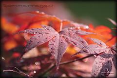 Sommerregen (peter pirker) Tags: red summer rot water canon austria sterreich wasser sommer krnten carinthia blatt baum regen ahorn seeboden peterfoto eos550d peterpirker
