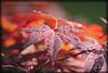 Sommerregen (peter pirker) Tags: red summer rot water canon austria österreich wasser sommer kärnten carinthia blatt baum regen ahorn seeboden peterfoto eos550d peterpirker