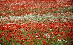 I wish it would last forever (Marie Granelli) Tags: red summer flower field skne sweden explore sdersltt d3000