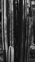 Fence post cactus at Tucson Botanical Gardens, July 2 2013 (Distraction Limited) Tags: arizona cactus monochrome gardens geotagged tucson botanicalgardens fencepost tucsonbotanicalgardens tucsonbotanical tbg stenocereus pachycereusmarginatus stenocereusmarginatus mexicanfencepost geo:lat=3224828364079605 geo:lon=11090778239071369