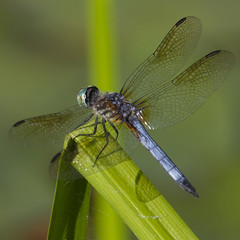 Blue Dasher (Kinchan1) Tags: blue insect dragonfly odonata bluedasher dragataonflies