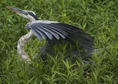 Should I Stay or Should I Go Now? (Feathered Trail Photos) Tags: lakeland greatblueheron mfcc thegalaxy floridabirds specanimal circleb hganimalsonly hennysanimals