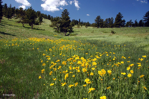 Photo - Field of Orange Arnica flowers.