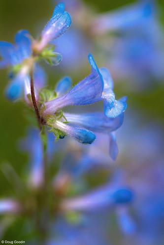 Photo - Close up, blue mist penstemon.