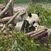 da mao the panda - toronto zoo - 15