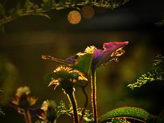 dark shadow on my soul ( Peter & Ute Grahlmann ) Tags: pink light brown sun flower macro green art leave nature yellow dark blossom bokeh clematis