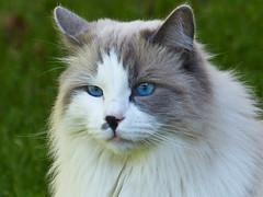 Pretty Miss Blue Eyes (annkelliott) Tags: portrait pet white canada beautiful animal closeup cat blueeyes alberta domesticated longhaired nwofcalgary nwofcochrane keithloganproperty
