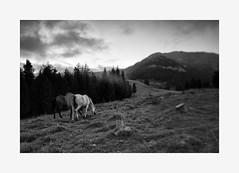 Horses (Khuzul (Alessandro Petri)) Tags: horses italy dawn bokeh outdoor dramatic shift naturallight tilt cavalli trentino tiltshift khuzul canoneos5dmkii rifugiotonini canon24lf35tseii