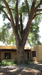 SX10-IMG_12912 (old.curmudgeon) Tags: newmexico tree flora 5050cy canonsx10is