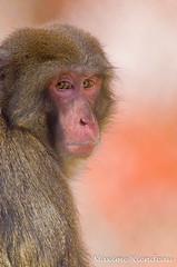Maxime Riendeau DSC_8321 (Maxime Riendeau) Tags: canada quebec qubec japanesemacaque zoogranby macaquejaponais maximeriendeau