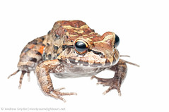 Leptodactylus myersi (Andrew Snyder Photography) Tags: summer southamerica rainforest july amphibian guyana frog your terrestrial meet leptodactylidae 2013 kanukumountains leptodactylussp july2013 neighboursandrew snydermyn