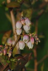 Blueberry Blossom - TROML - 715 (Clint__Budd) Tags: southwales springblossom