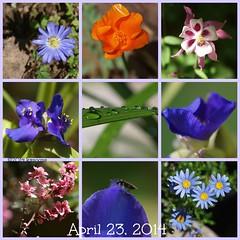 april 23, 2014 garden goodies (Kazooze) Tags: flowers nature daisies garden critter poppy columbine waterdrops anenome spiderwort spiderwortawakening nztea