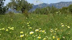 Frühlingswiese- spring meadow (Marlis1) Tags: wildflowers finca wildblumen elsports marlis1 tortosacataluñaespaña
