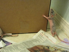 Curious (Milk and Bunny) Tags: blue pet baby cute rat babies young rats hairless