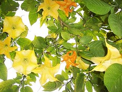 Yellow orange trumpets of Brugmansia (endemanf) Tags: flowers nature gardens landscaping harmony fragrant tropical tropicalplants brugmansia zafiro tropicalismo excellentimage flickrhearts heartawards tropicalshrubs crazyaboutnature anuniverseofflowers hiddentreasuregroup doubledragonawards photographerparadise zensationalworld charlesgrimaldii
