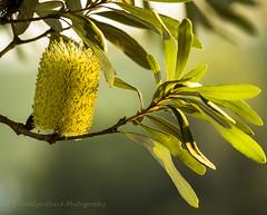 Banksia in flower (bluepoppynz) Tags: northisland 70200mm canon60d bluepoppynzyahooconz