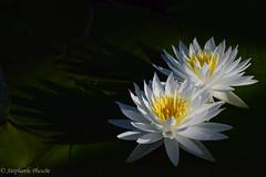 Water Lily (stephaniepluscht) Tags: bon white water centennial lily wildlife alabama trail national wildflower nymphaea refuge 2015 secour odorata