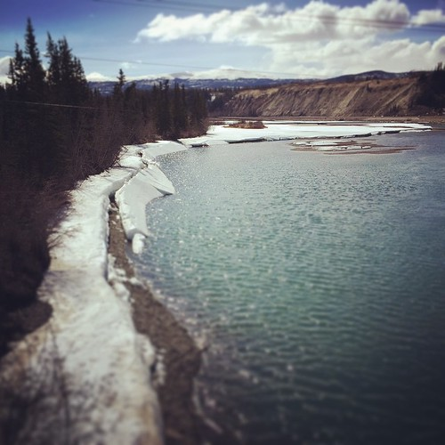 Sunny spring walk along the Millennium Trail, Yukon River #yxy #Yukon It's 8c and the ice is mostly melted.