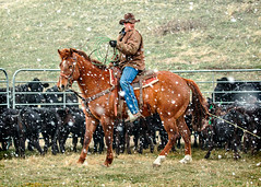 Western Snow (www.toddklassy.com) Tags: ranch horse snow man motion cold colour male green field grass animals horizontal rural work outdoors one spring focus cowboy montana mt cattle action farm beef country manatwork working documentary lifestyle gritty rope falling jeans riding fox lloyd western april denim panels copyspace agriculture chinook rancher sideview cowboyhat livestock hardwork herd wildwest horseback centered branding rugged corral ranching calves quarterhorse cowboyboots caucasian horseman roping sorrel stockphotography blackangus modelrelease cattleman blainecounty hofeldt