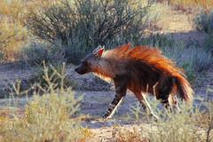 IMG_8089 (Marlene Rybka Visualizing & Photography) Tags: photography marlene botswana brownhyena rybka visualising kgalagaditransfrontiernationalpark braunehyne nationalparkinbotswana