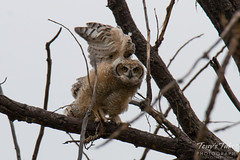 Great Horned Owl owlet tests its wings