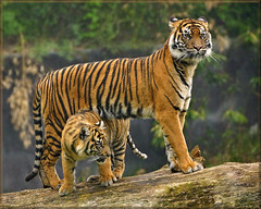 Proud tigress with daughter (Foto Martien) Tags: holland cup netherlands dutch sisters cat sumatra indonesia zoo cub kat sony tiger arnhem nederland twin lara bigcat burgers tess sumatrantiger wildcat tijger janine tigress veluwe indonesië a77 dierentuin gelderland dierenpark 70300 jarum sumatera rimba whelp aryo sumatratiger welp nonja pantheratigrissumatrae sumatraansetijger burgersdierenpark bedreigdediersoort tigredesumatra tijgerin macansumatra harimausumatera martienuiterweerd martienarnhem fotomartien sonyslta77v sonyalpha77 geotaggedwithgps endangeredanimalspecies tamron70300mmf456sp koninklijkeburgerszoo