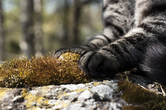 IMG_3888 (Siw Linda) Tags: cute nature rock closeup contrast cat fur outdoors moss woods bokeh stripes paws