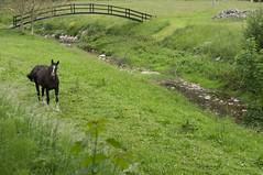 Caballo en libertad (gonyol) Tags: naturaleza rio caballo libertad sony cantabria nex 5n treceo sel50f18