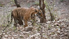 Royal Bengal Tiger - Noor T39 (Raymond J Barlow) Tags: travel wildlife tiger workshop raymond indiatour royalbengal phototours raymondbarlowtours