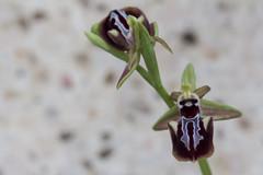 Ophrys leucophthalma (Ryoushi no syokubutsuen) Tags: ophrys leucophthalma