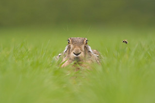 Brown Hare - The Bee -