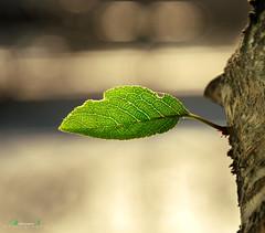 Leaf (aniribe) Tags: leaf summer sun morning tree nikon color green nature