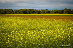 Champ de colza (patoche21) Tags: europe france labergementfoigney champagricole colza paysagerural ctedor burgundy agriculturalfield flower fleur ruralit rurality campagne countryside champ field agriculture patrickbouchenard bourgogne rapeseed rapeseedfield landscape rurallandscape