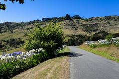 Sure is Getting Hot (Jocey K) Tags: newzealand southisland bankspeninsula hills sky road summer scene landscape littleakaloa agapanthus flowers trees shadows